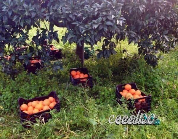 Arance mandarini limoni BIO Ribera, su prenotazione
