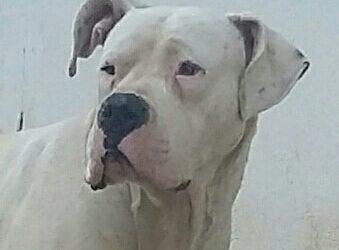 Dogo argentino – nascita di cuccioli a febbraio