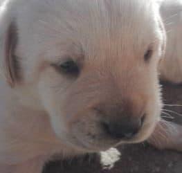 Cuccioli Labrador maschi che femmine, color miele