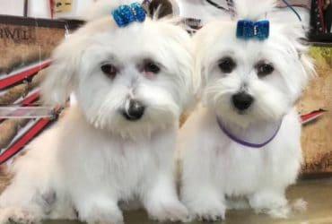Cuccioli di Maltese di chiamano Miles e Shels
