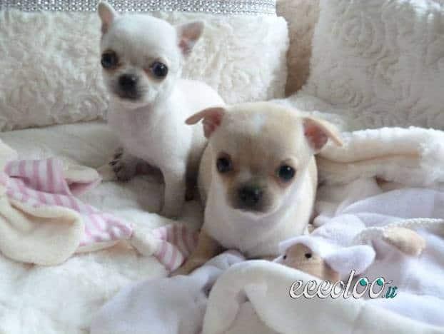 Fantastici cuccioli di chihuahua disponibili