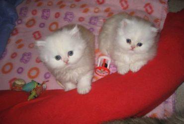 Gattini persiani in vendita giocherelloni