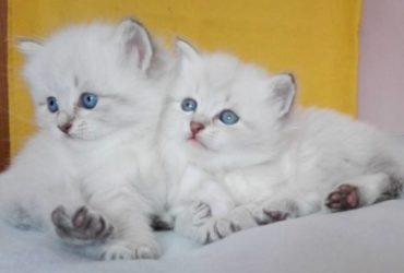 Affido Bellissimi gattini siberiani sono due adorabili