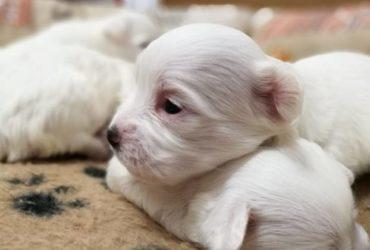 Cuccioli femmina di Maltese con vaccino e microchip. €.600
