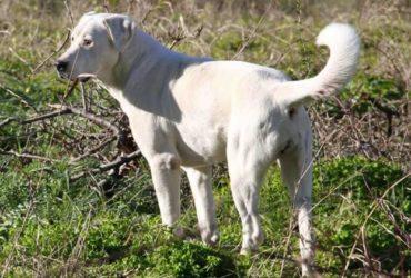 Cane da Pastore dell'Asia centrale ottima linea di sangue. Cuccioli disponibili