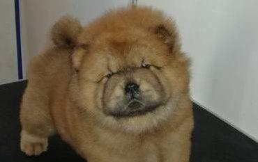 Chow chow maschio con pedigree ENCI. Bellissimo cucciolo