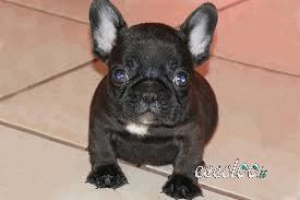 Cuccioli di Bulldog francese per l'adozione gratuita