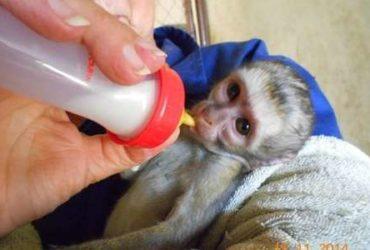 Adorabile scimmia cappuccina per adozione