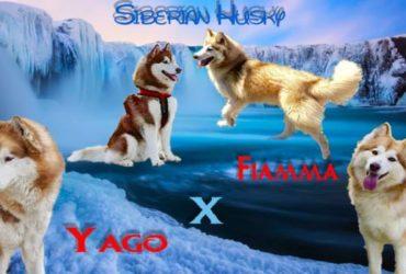 Cuccioli di husky siberian
