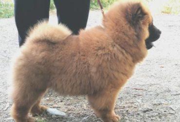Cucciolo maschio di chow-chow rosso con pedigree ENCI
