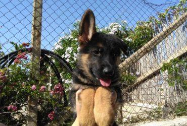 Cucciola di Pastore Tedesco alta genealogia. €. 800