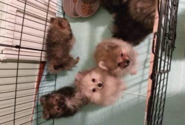 Cuccioli di Spitz tedesco nano sverminati svezzati. €. 500