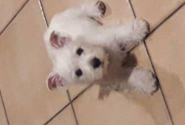 cucciolo westy 2 mesi