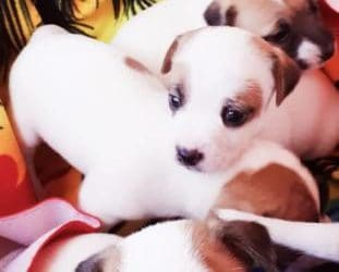 Cuccioli di Jack russell. €. 250