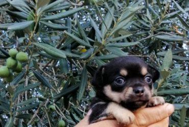 cucciolo di chihuahua maschio tricolore a pelo corto con pedigree