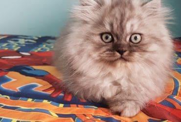 Persiano Chinchilla blu black svezzato e sverminato